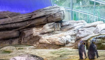 Gay penguin couple adopts an egg in Berlin ZOO (ANSA)