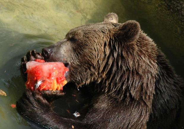 Trento, 70enne aggredito da un orso: non è grave