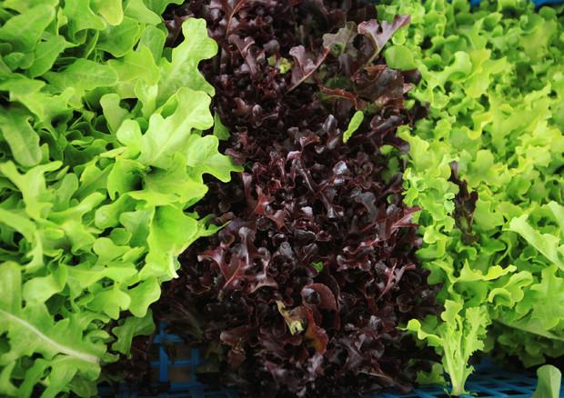Insalata in busta: rischio salmonella a causa delle foglie tagliate
