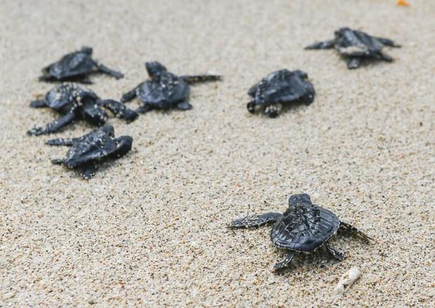 Usa record di nidi di tartarughe marine in spiagge for Tartarughe di mare domestiche