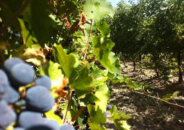 IUva e olive 'merce rara' nei campi, ladri scatenati in Puglia © ANSA