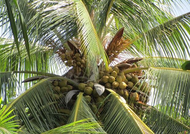 India palma da cocco 39 non pi un albero 39 e perde tutela - Palma di cocco ...