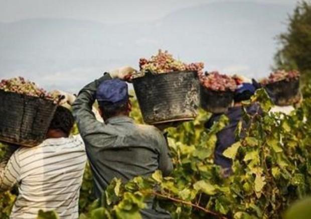 Extracomunitari impegnati nella vendemmia © ANSA