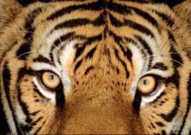 E' la giornata mondiale della tigre, ne restano 3890 esemplari