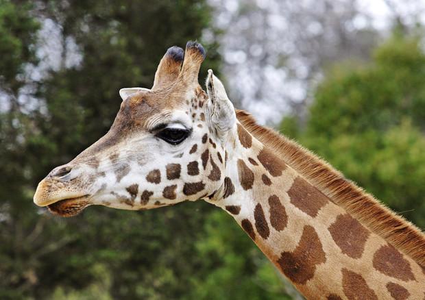 Giraffe a rischio di estinzione, ne restano meno di 100mila