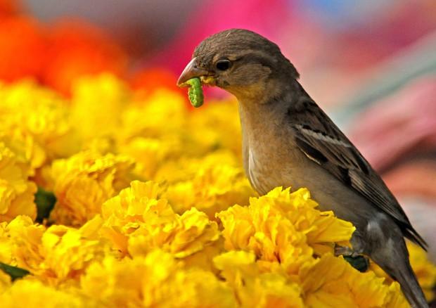 Compagna infedele? Il passero dà meno alimenti ai figli