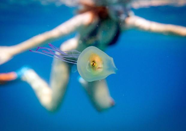 Il pesce intrappolato in una medusa