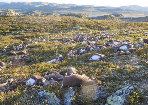 Strage di renne in Norvegia: un fulmine uccide oltre 300 animali