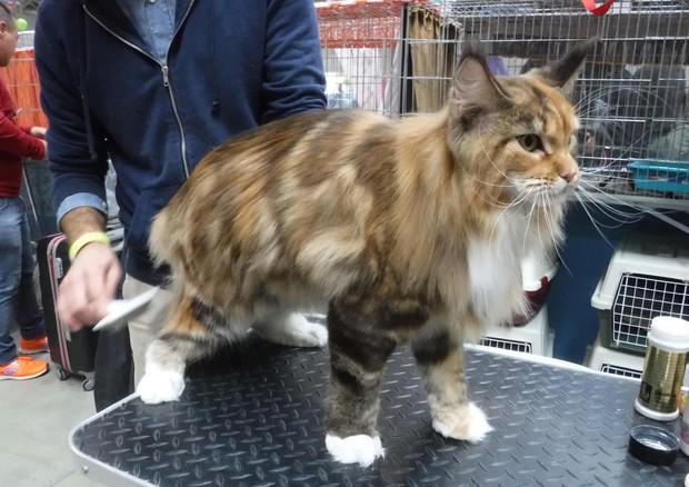 Maine Coon E Bengal Le Razze Più Trendy Al Supercat Show Animali