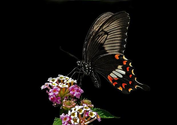 Un esemplare di farfalla Papilio polytes (fonte: Atudu) © Ansa