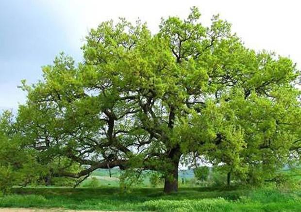 Da mipaaf 39 atlante 39 alberi monumentali d 39 italia sono natura - Foto di alberi da giardino ...