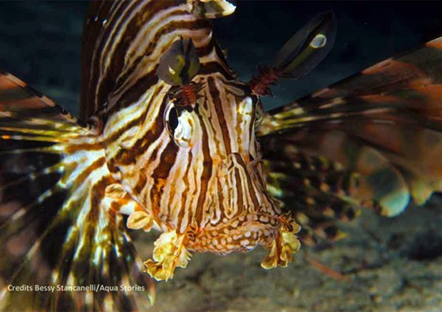 Il pesce scorpione avvistato a Vendicari