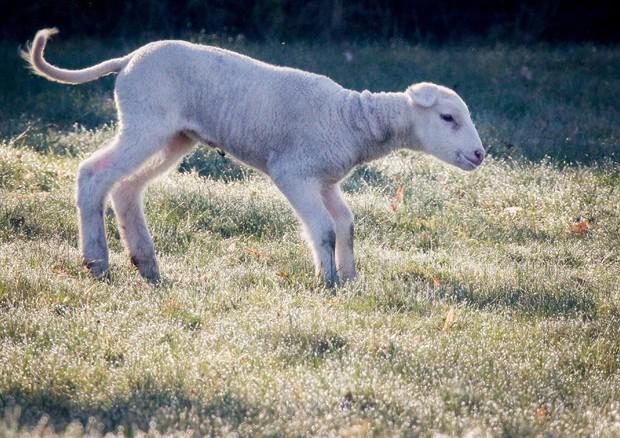 Pasqua: a pranzo un ristorante su quattro non servirà l'agnello