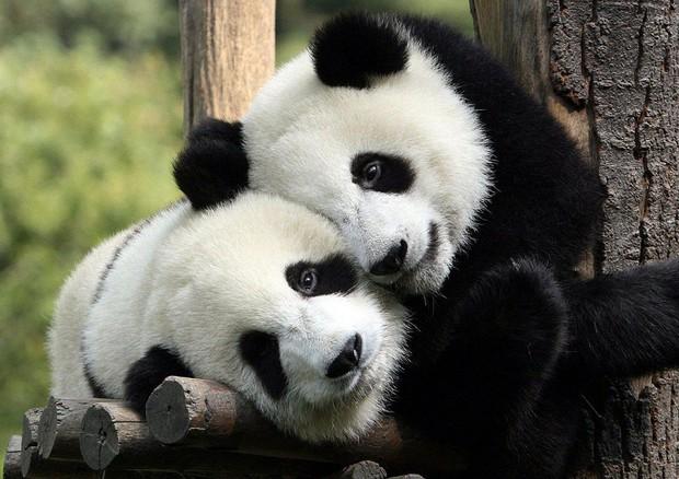 Risolto il mistero del colore dei panda