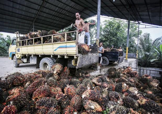 Olio di palma, nei Paesi Ue entrerà solo quello sostenibile
