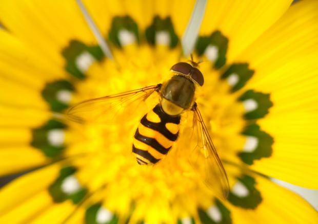 Così il boom di vespe