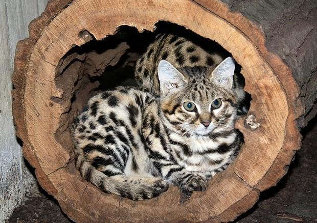 Dallo studio del dna una 39 zampata 39 contro le malattie rare - Che malattie portano i gatti ...