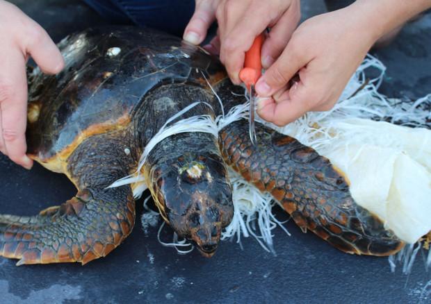 Salvata tartaruga 39 charlie 39 quasi uccisa dalla plastica for Tartarughe appena nate