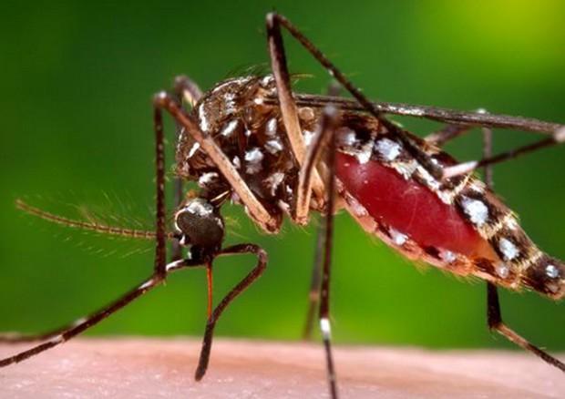 Una femmina della zanzara Aedes aegypti © Ansa