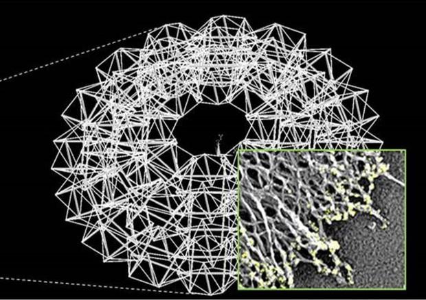 Simulato in 3D lo 'scheletro' di una cellula (fonte: Fraldi et al.) © Ansa