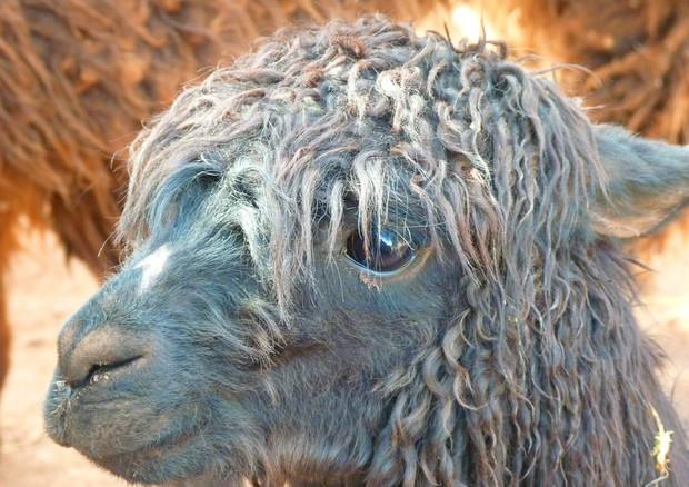 Da un anticorpo scoperto nei lama un vaccino jolly contro l'influenza (fonte: Picryl, Public Domain CC0) © Ansa