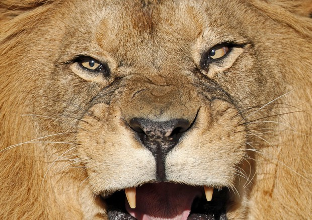I leoni divorano cacciatore: