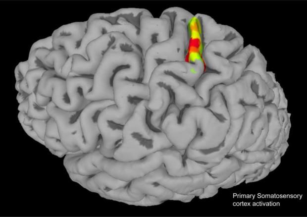 La corteccia somatosensoriale, l'area del cervello responsabile delle sensazioni corporee (fonte: Andersen lab) © Ansa