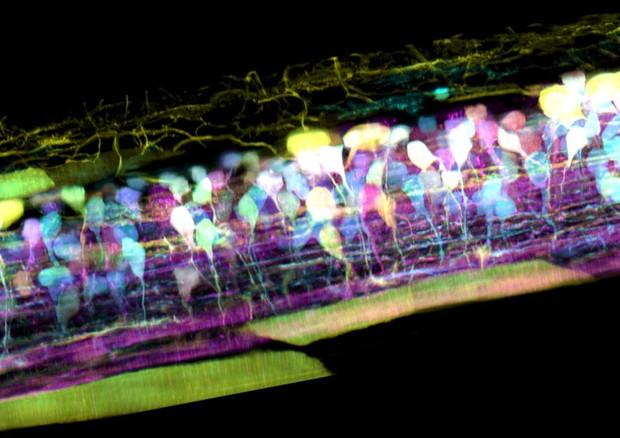 Il midollo spinale di un embrione di pesce zebra, nel quale i nuovi neuroni si formano in diversi colori in modo che il loro sviluppo possa essere seguito (fonte: T. Liu et al./Science 2018) © Ansa