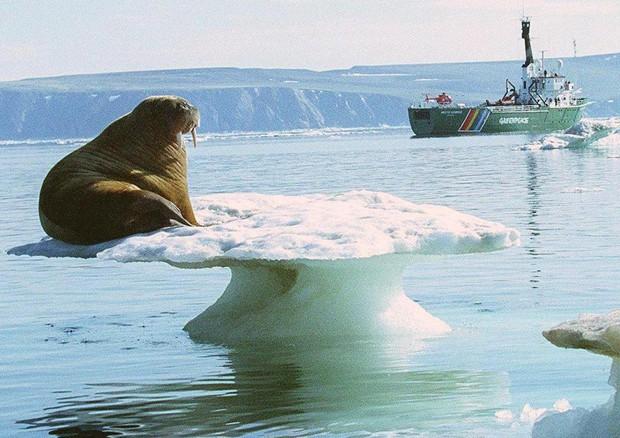 Un tricheco su una piattaforma di ghiaccio © EPA