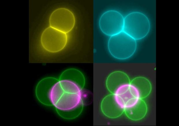 Cellule artificiali in falsi colori, organizzate in strutture di tipo diverso (fonte: Imperial College London) © Ansa