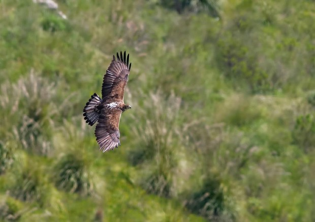 Aquila Lillo salvata da WWF, in un mese 700 km in volo
