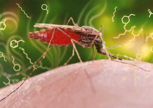 Il parassita della malaria altera l'odore delle persone infettate, rendendolo più attraente per la zanzara Anofele, vettore della malattia (ETH Zurich / CDC, James Gathany) © Ansa