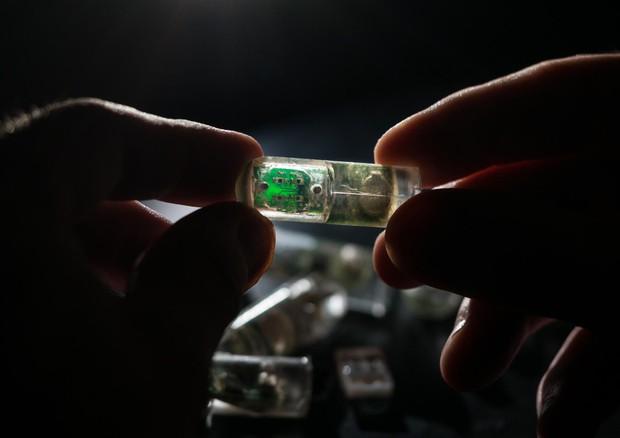 Il dispositivo ibrido, fatto di batteri viventi e un chip elettronico, progettato per essere ingerito, utilizzato come un sensore e trasmettere le informazioni allo smartphone per emzzo di un'app (fonte: Lillie Paquette, MIT) © Ansa