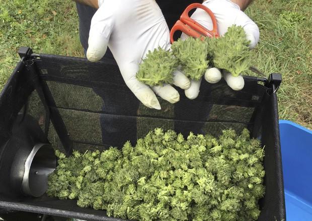 Consiglio Superiore Sanità, no a vendita cannabis light © AP
