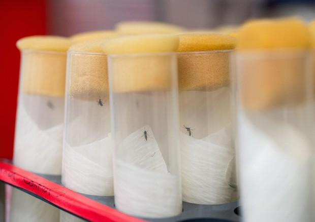 Il virus Dengue potrebbe trasmettersi anche per via sessuale © ANSA