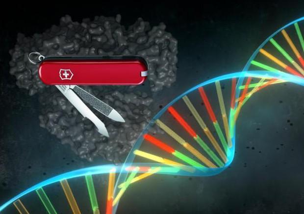 La Crispr e' una sorta di forbice naturale che permette di tagliare il Dna in punti specifici e si ispira al funzionamento di un sistema di difesa immunitaria comune fra i batteri. (fonte: Pablo Alcón / Università di Copenhagen) © Ansa