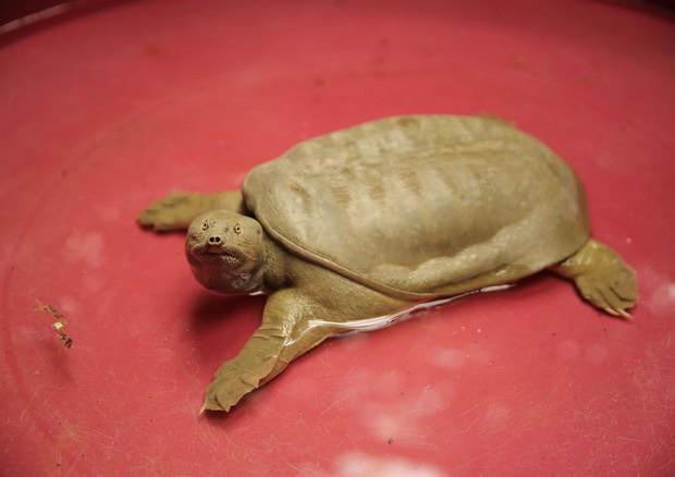 Tartaruga dal guscio molle che attacca gli altri animali, catturata sul Garda