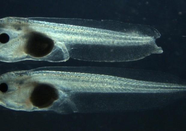 Lo stesso gene della rigenerazione inibisce che la coda dei girini si riformi (fonte: Andrey G. Zaraisky e Daria D. Korotkova) © Ansa