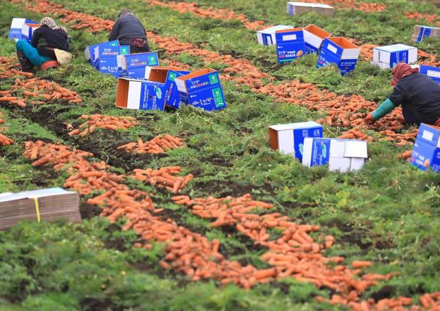 raccolta delle carote © ANSA