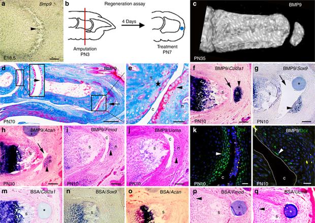 La proteina 9 morfogenetica dell'osso (BMP9) stimola la rigenerazione delle strutture articolari (foto: Nature Communication) © Ansa
