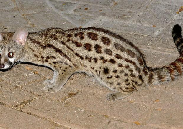Una Genetta Carnivoro Africano Sulle Alpi Liguri Animali Ansait