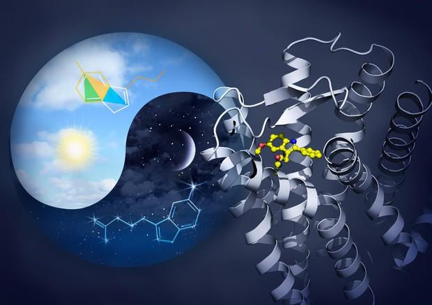 Sulla destra la rappresentazione grafica dei recettori della melatonina (fonte: Yekaterina Kadyshevskaya, Bridge Institute at USC Michelson Center for Convergent Bioscience) © Ansa