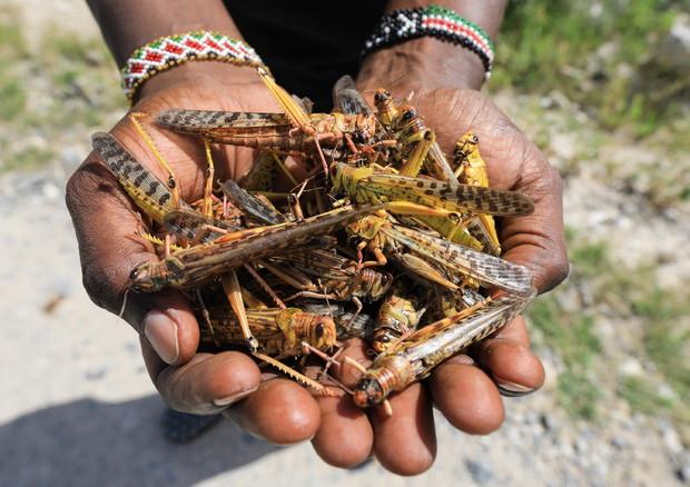 Risultati immagini per emergenza locuste