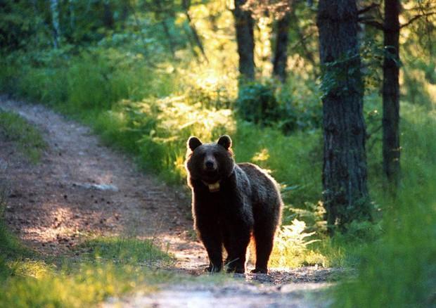 Un orso attacca e ferisce padre e figlio in Trentino