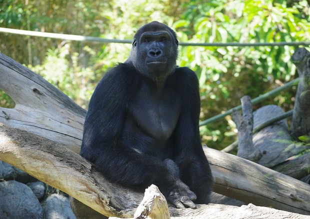 Un gorilla nello zoo di San Diego