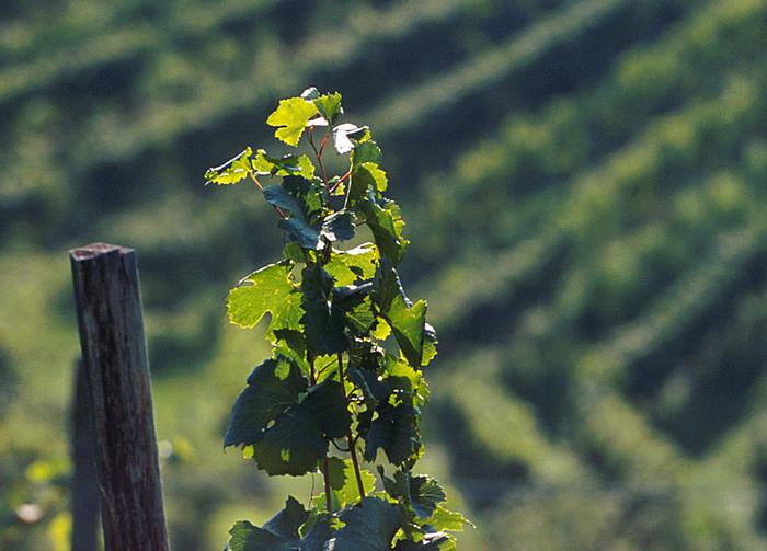 Citt del vino la vite entra nei piani regolatori citt for Nei piani domestici di terra