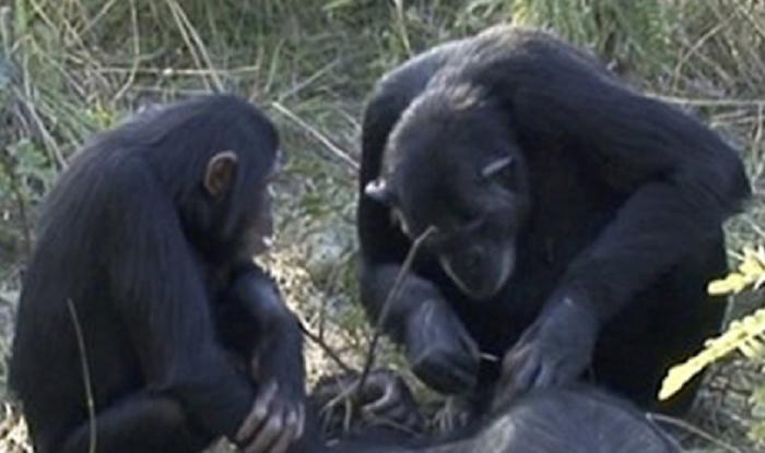 dimensione del pene dello scimpanzé)