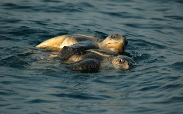 India tartarughe in amore si accoppiano e nidificano for Tartarughe in amore