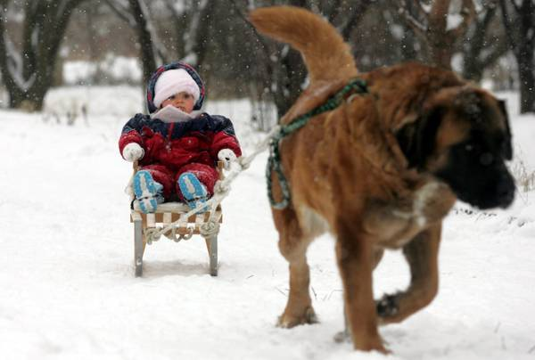 Freddo polare in Polonia. Un cane trascina una slitta con un bambino