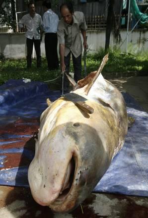 Cambogia un pesce gatto morto nelle acque del mekong for Un pesce allevato in acque stagnanti